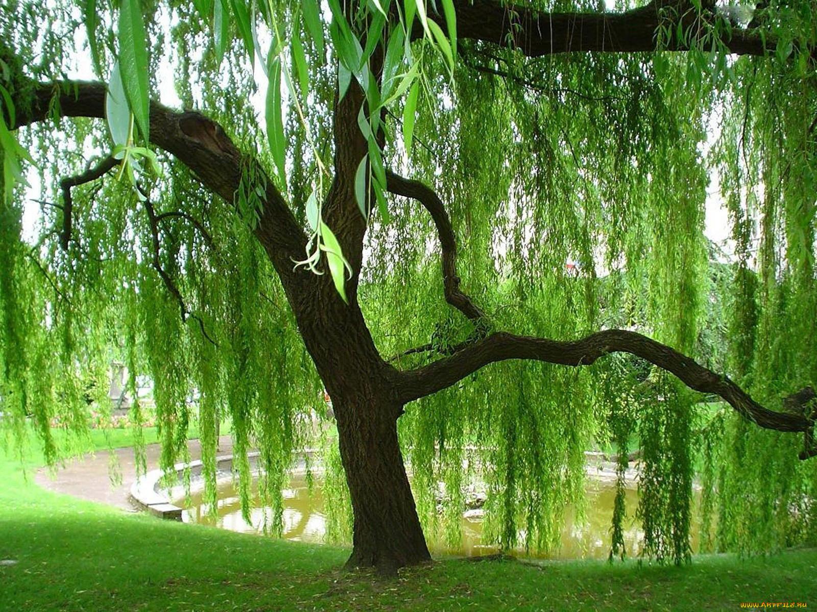 Картинка деревья ива
